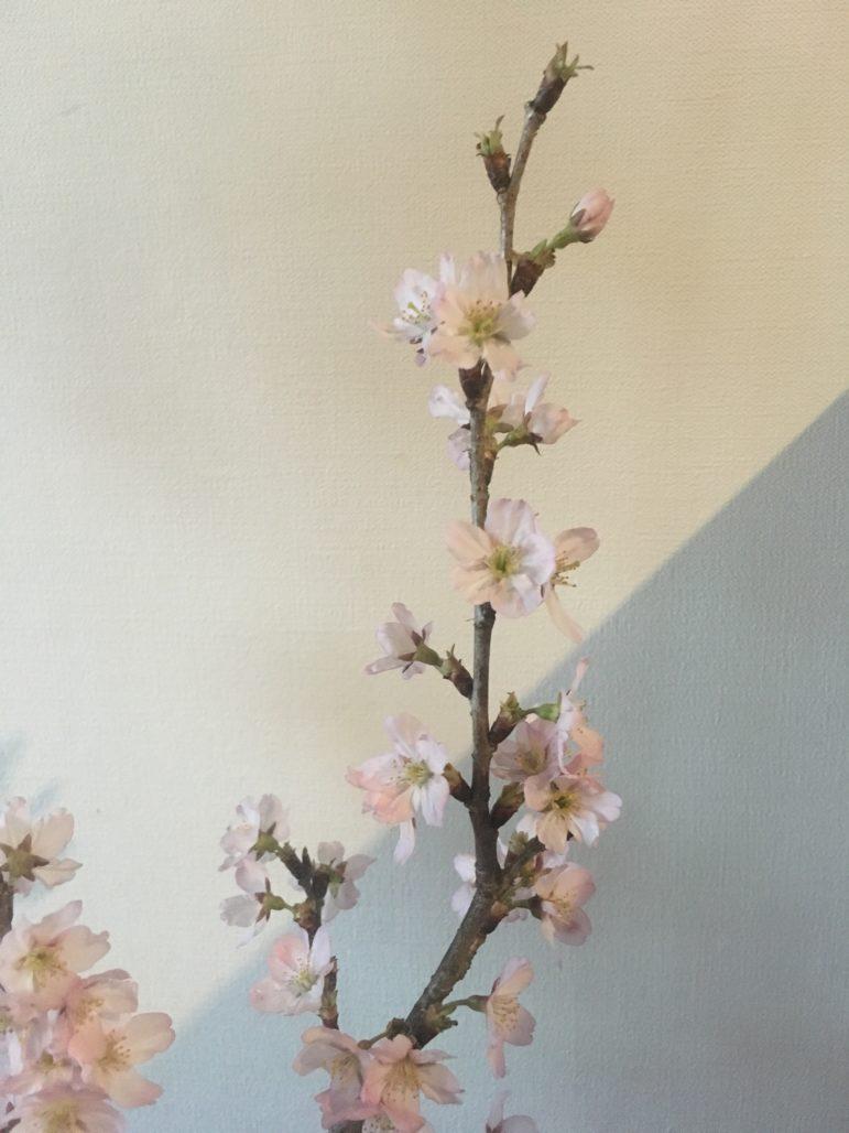屋内に入れてある桜は、花が開いてきました