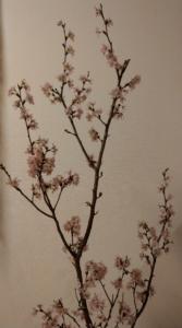 屋内桜はだいぶ花が開いてきました
