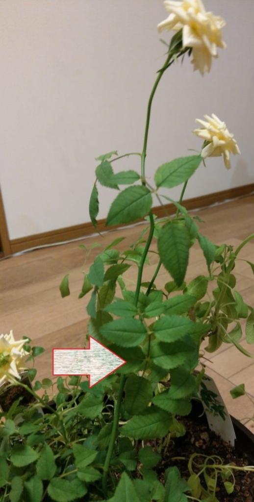 下から2-3セットの葉を残し、花を切ります